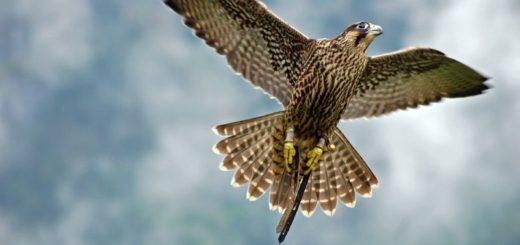 Alexander Kuchar, Falcon flying